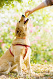 Golden Retriever sit down and accept food Royalty Free Stock Images