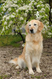 Golden retriever sits in front of the tree Royalty Free Stock Images