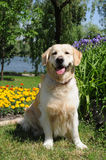 Golden retriever sits on the grass Stock Photography