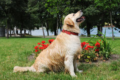 Golden retriever sits in a park Stock Photo