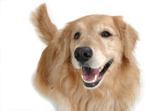 Golden retriever sitting. And smiling for the camera royalty free stock photography