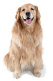 Golden Retriever Sitting Stock Images