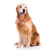 Golden retriever sitting down - isolated over a white background Stock Photography