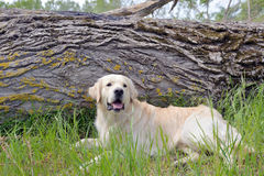 Golden retriever sitting in forest Royalty Free Stock Photos