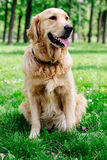 Golden Retriever sitting on the grass and looking Royalty Free Stock Photo