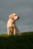 Golden Retriever Sitting on Hill Royalty Free Stock Image