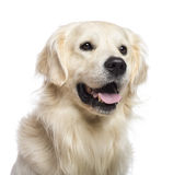 Golden retriever sitting and looking away Royalty Free Stock Images