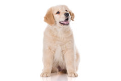 Golden Retriever sitting Royalty Free Stock Images