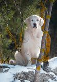 Golden Retriever sitting in snow on a sunny day royalty free stock images