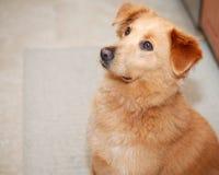 Dog sitting waiting to be fed. Golden retriever sitting in kitchen waiting patiently to be fed stock image