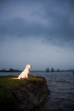 Golden Retriever sitting at water's edge Stock Image