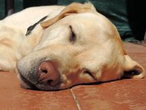 Golden Retriever sleeps in the courtyard. Stock Images