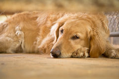 Golden retriever sleepy Royalty Free Stock Photo