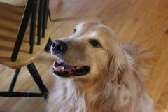 Golden Retriever Smile Stock Photos