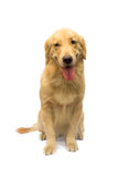 Golden Retriever with a smile Royalty Free Stock Photos