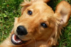 Golden retriever smiling Royalty Free Stock Photos