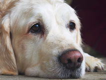 Golden Retriever Snout. Cute snout and head of white golden retriever royalty free stock images