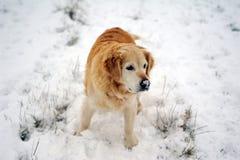 Golden retriever in the snow Stock Photo