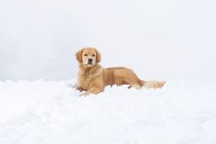 Golden Retriever in the Snow Stock Photography