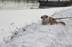 Golden retriever in the snow Stock Photo