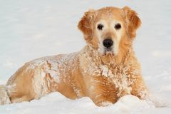 Golden retriever on snow Royalty Free Stock Photos