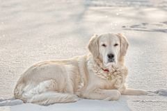 Golden retriever in snow Royalty Free Stock Image