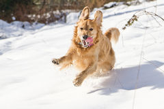Golden Retriever in the Snow. This golden was having the time of her life in the snow Stock Images