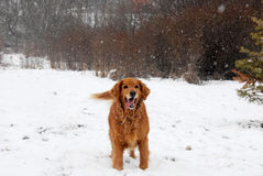 Golden retriever at snowfall Royalty Free Stock Photos