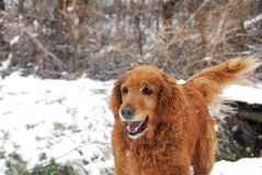 Golden retriever at snowfall Royalty Free Stock Image