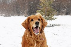 Golden retriever at snowfall Stock Photography