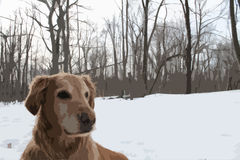 Golden retriever in Snowy-Holz Lizenzfreie Stockfotos