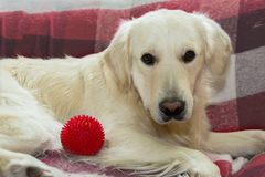 Golden retriever on the sofa. Golden retriever lying on the sofa with red ball royalty free stock photo