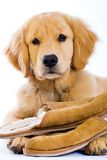 Golden Retriever with soft slippers Royalty Free Stock Image