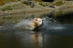 Golden retriever som hoppar i vatten arkivbilder