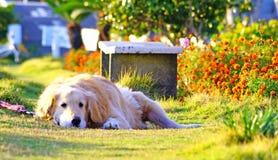 Golden retriever som ligger i blommaträdgården Royaltyfri Foto