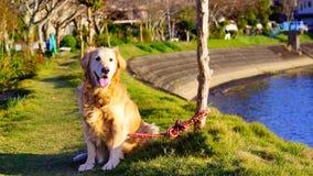 Golden retriever som ligger i blommaträdgården Arkivfoto