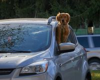 Golden retriever som ser ut ur bilen royaltyfria foton