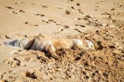 Golden retriever som sover i sanden Fotografering för Bildbyråer