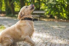 Golden retriever som spelar i parkera, gullig hund fotografering för bildbyråer