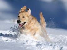 Golden retriever som spelar i snön, björndal, Kalifornien Arkivfoto