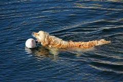 Golden retriever som spelar med bollen 2 royaltyfria foton