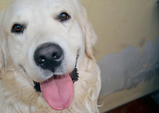 Golden retriever sorridente del cane Immagini Stock