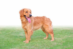 Golden retriever stand on the grassland Royalty Free Stock Photo