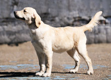 Golden Retriever standing Royalty Free Stock Images