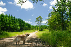 Golden retriever standing on a forest path Stock Photo