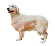 Golden Retriever. Standing, isolated on white Stock Photos