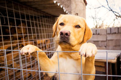 Golden Retriever standing leaning on a fence and looking sad Stock Image