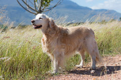 Golden retriever. Standing looking over grass field royalty free stock image