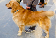 Golden Retriever standing Stock Images