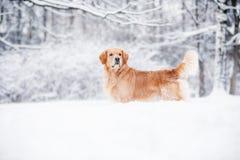 Golden retriever standing in the snow in winter stock image